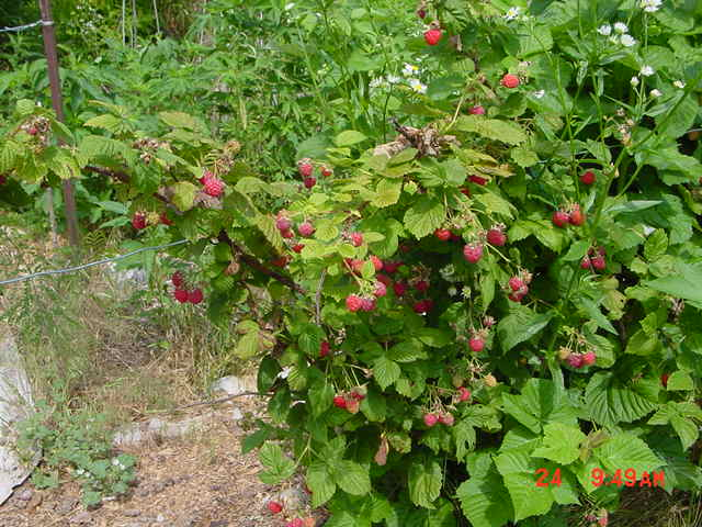 And even MORE raspberries